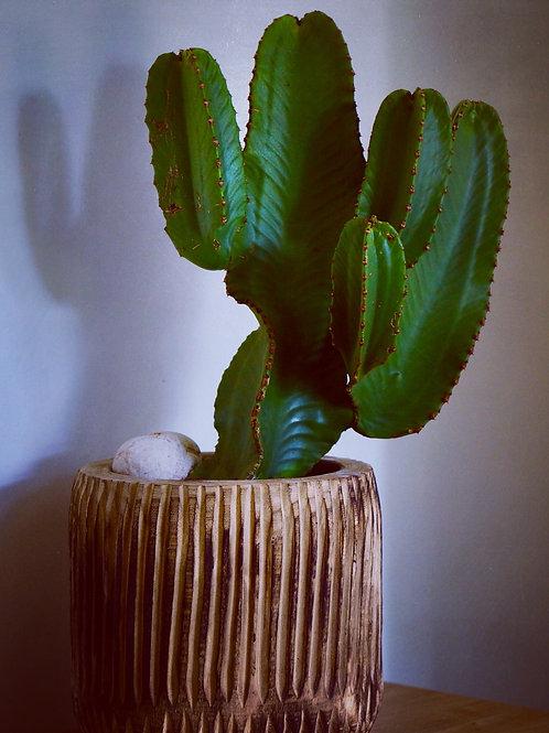 Cactus euphorbe xuri lx
