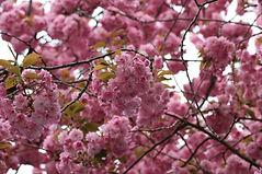 Bonn - Kirschblütenallee