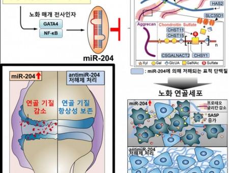 생명과학부 연구팀 '노화로 인한 퇴행성관절염 발병메커니즘 찾았다'
