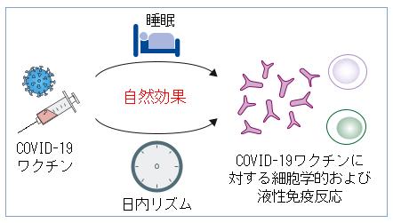 No.169 睡眠不足は新型コロナワクチン接種の効果を弱める