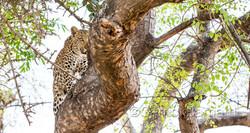 Shinde_Leopard_17