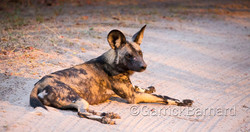 Okuti_Dogs_01