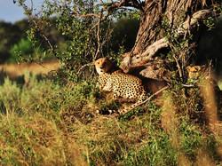 Botswana_safari_cheetah
