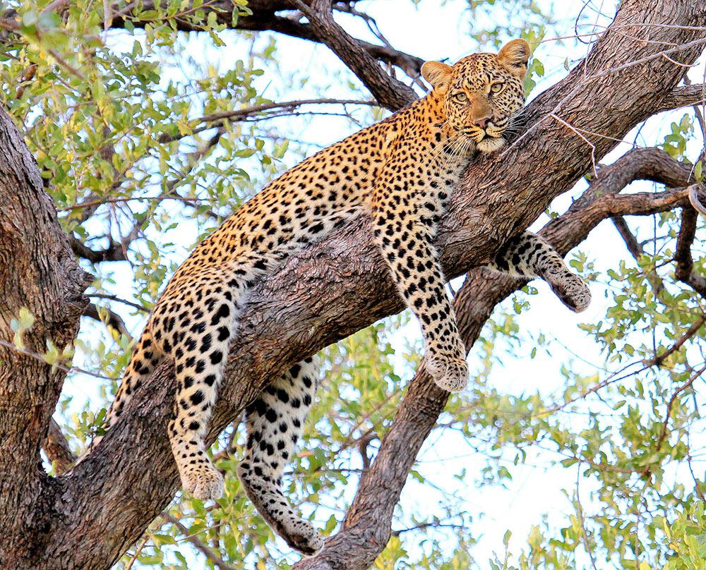 Botswana_safari_leopard