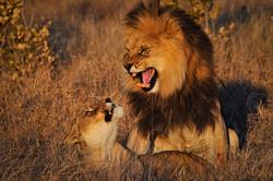 Botswana_safari_lion