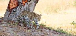 Shinde_Leopard_07