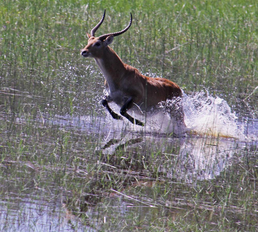 Botswana_safari_lechwe