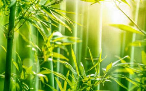 Bambù.jpg