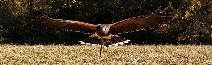 Hawk-Gliding-cropped.jpg