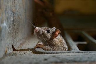 rat_edited.jpg
