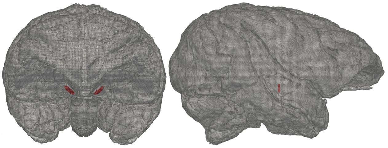 Macaque Brain Model