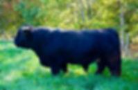 lindnesy bull 2.jpg