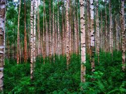 birch-trees-301918_1920