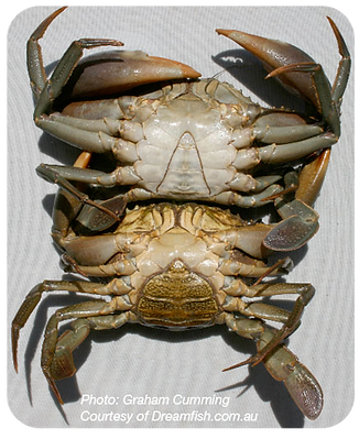 Mudcrabs_genders_rounded_400px.png
