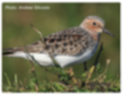 Bird_Rednecked_rounded_400px.png