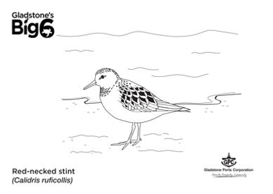 Colour_Red-necked-stint.png