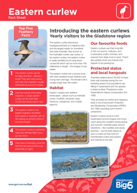 Shorebirds_Eastern-curlew_Fact-Sheet.png