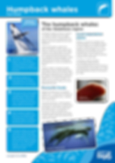 Cetaceans_Humback-Whale_Fact-Sheet.png