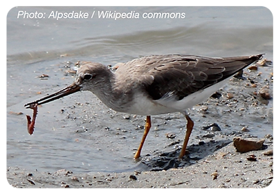Birds_Tereksandpiper_rounded_400px.png