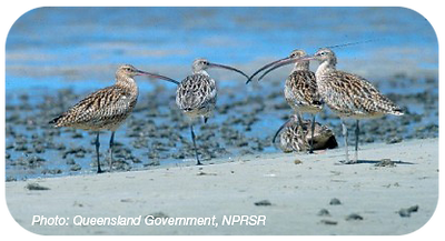 eastern_curlew_round_400px.png