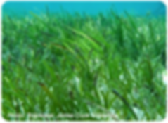 Habitats_Seagrass_web_400px.png