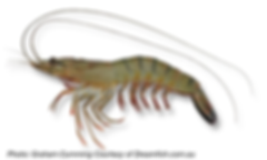 Giant_Tiger-Prawn_Graham-_400px.png