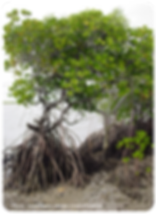 Habitats_mangroves_cor400px.png