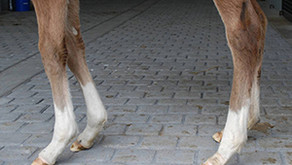 Therapeutic Shoes for Hyperextension Foals