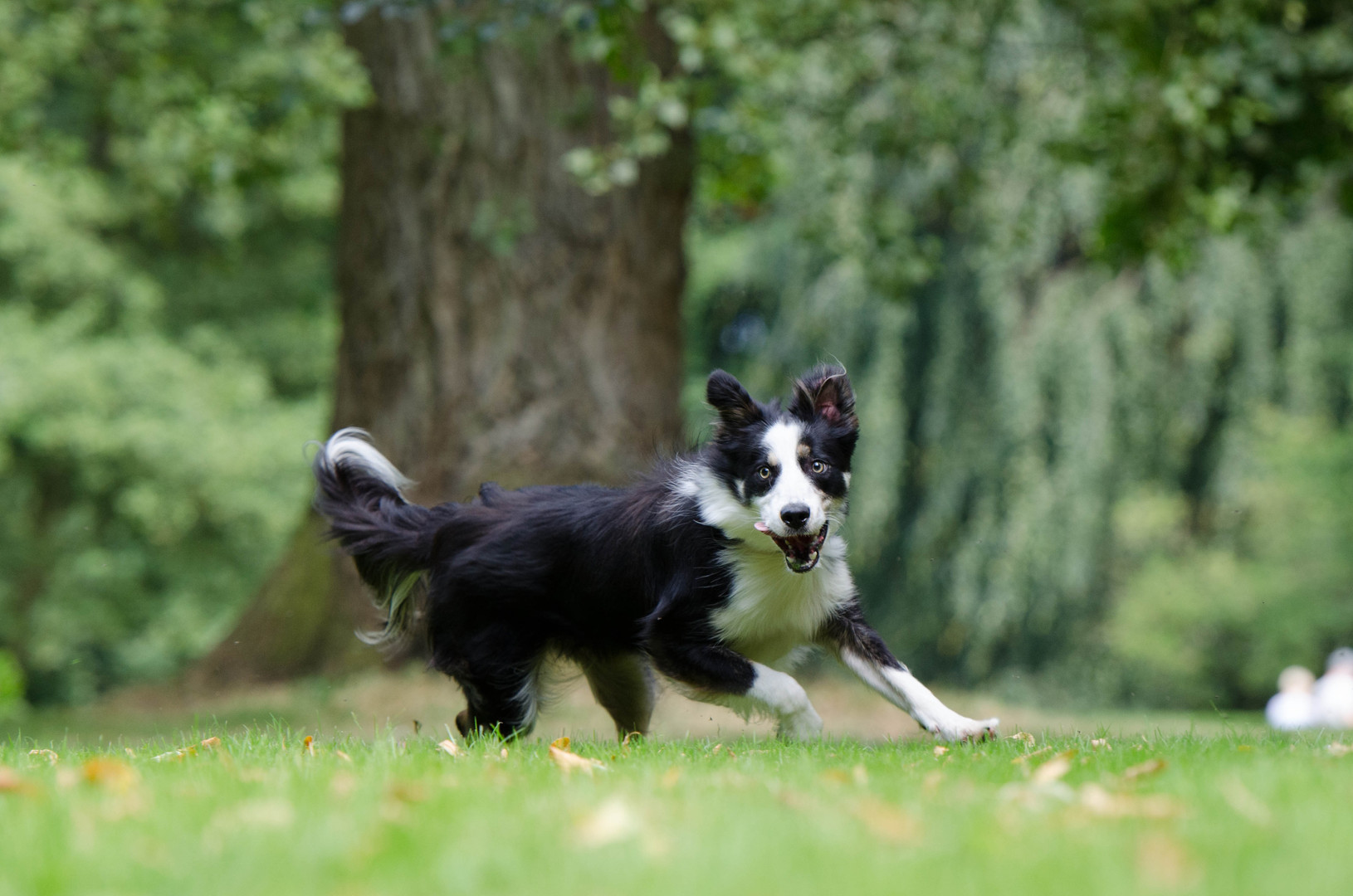 dog-mammal-border-collie-vertebrate-atte