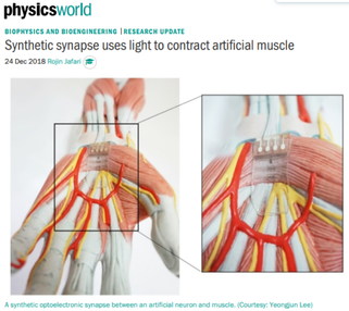 [PhysicsWorld Higlight] Synthetic synapse uses light to contract artificial muscle