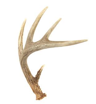 deer-antler-shed1.jpg
