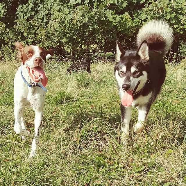 Ryker and quinn #englishpointer #dogofin