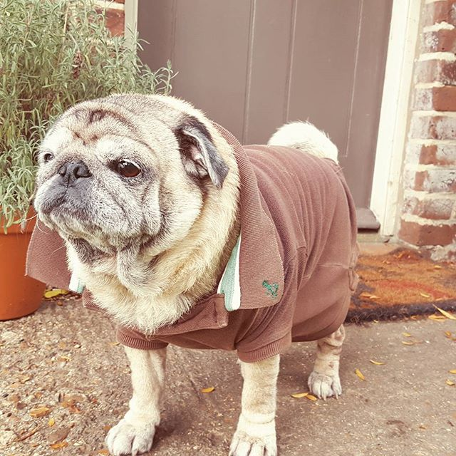 Jasmine wearing her cute jumper #pug #pu