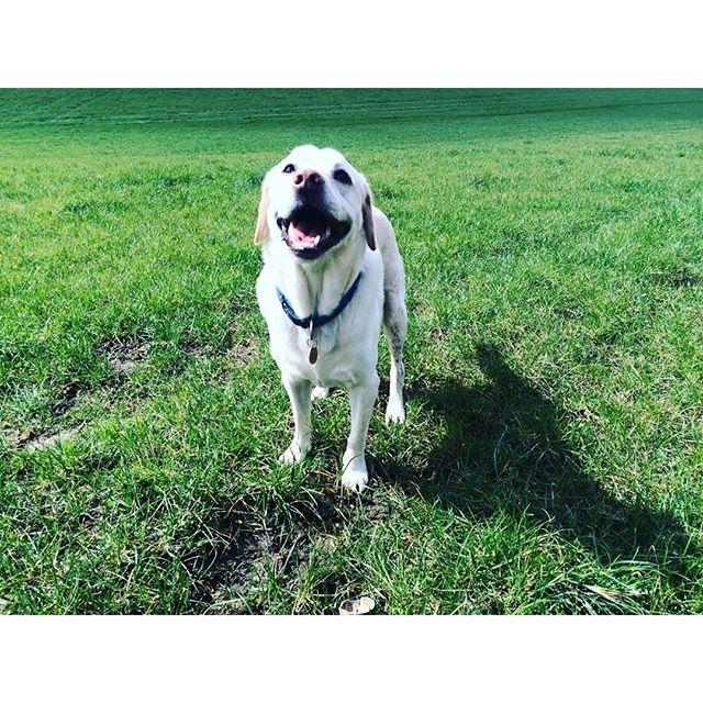 Smiley Alfie #labrador #labsofinstagram