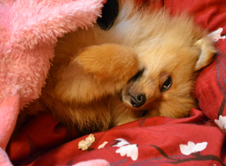 Maddy the Pomeranian's battle with fly-snapping syndrome.