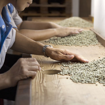 green raw coffee beans being sorted out