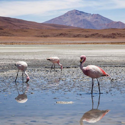 Pink flamingos chilling on the shores of Laguna Hedionda 4115 m above sea level.