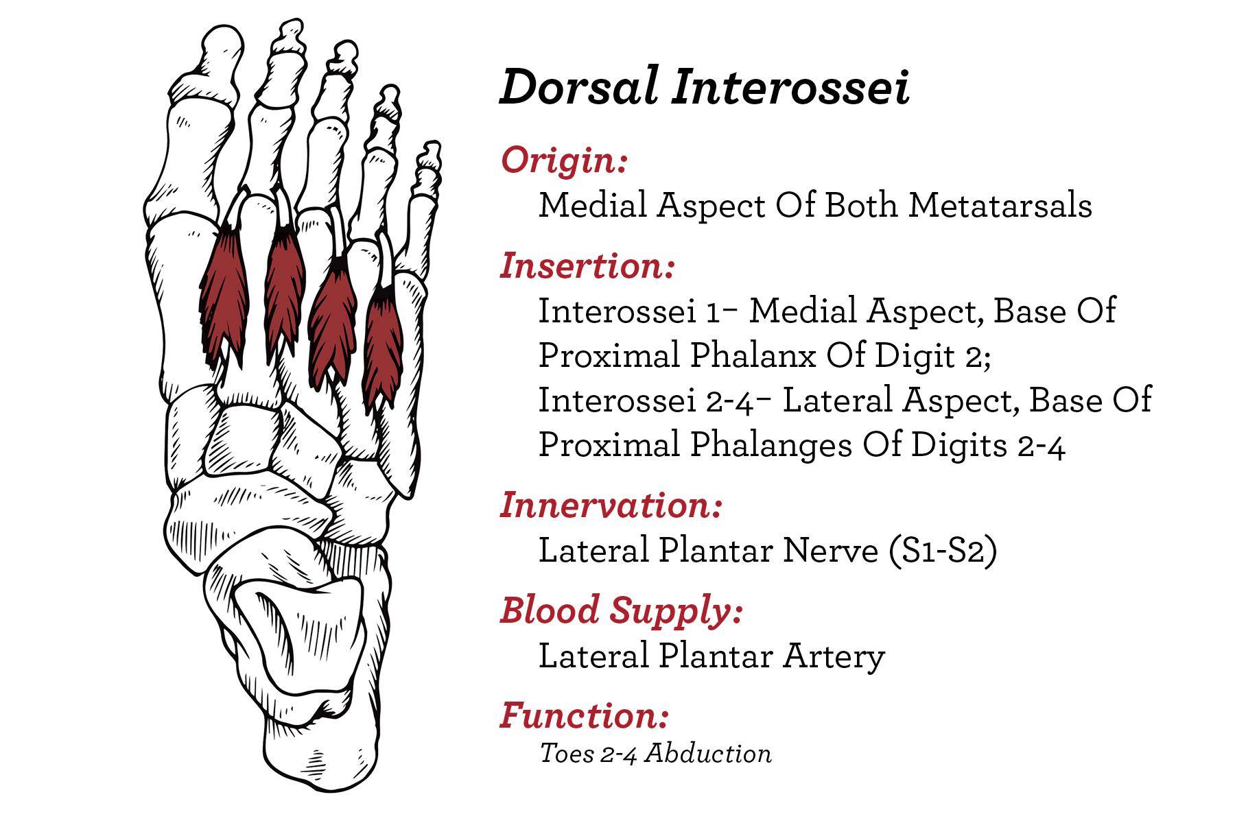 Foot- Dorsal Inter