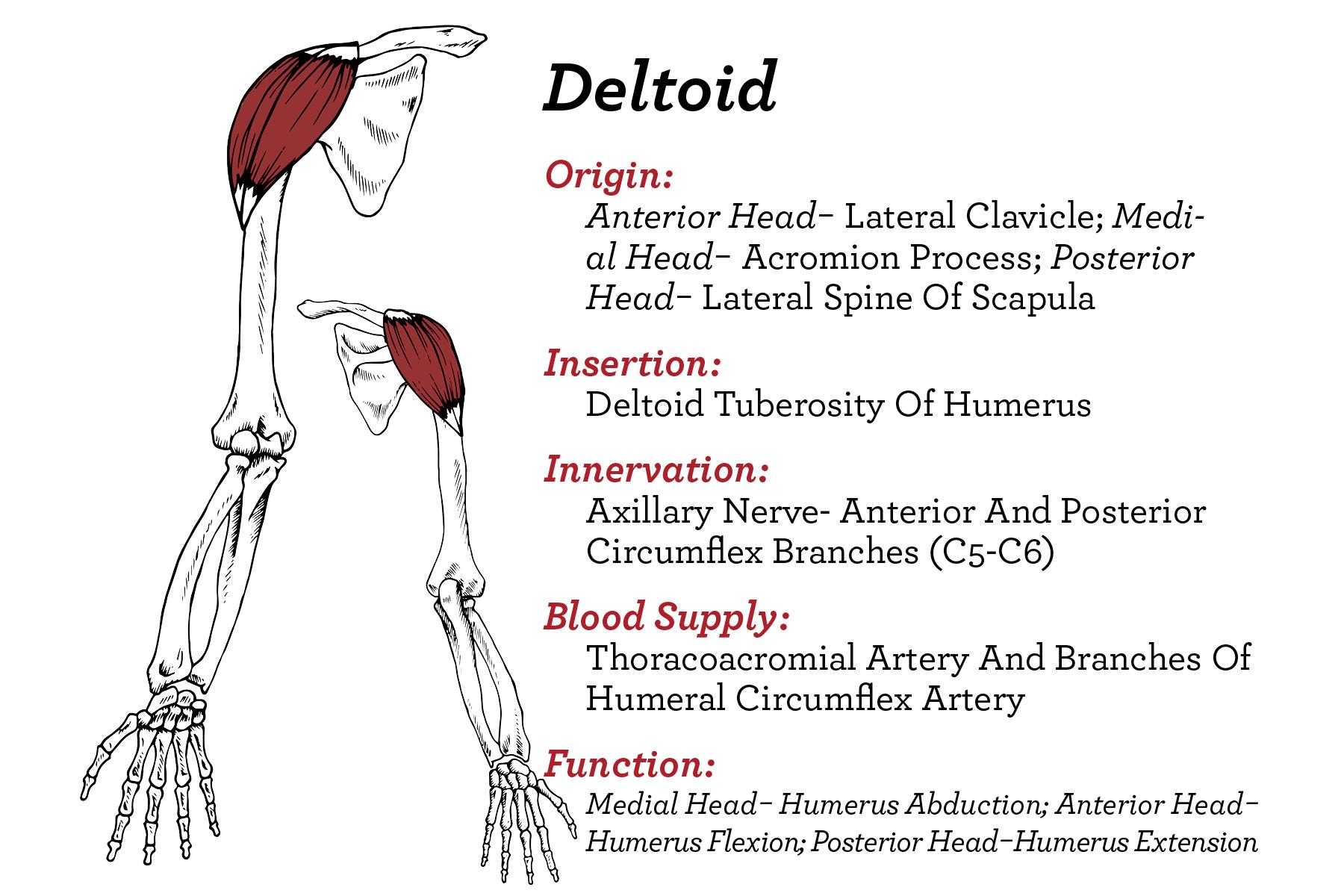 Shoulder- Deltoid
