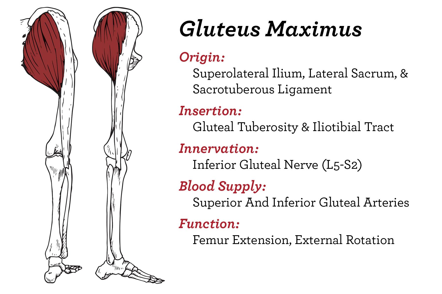 Hip- Glut Max