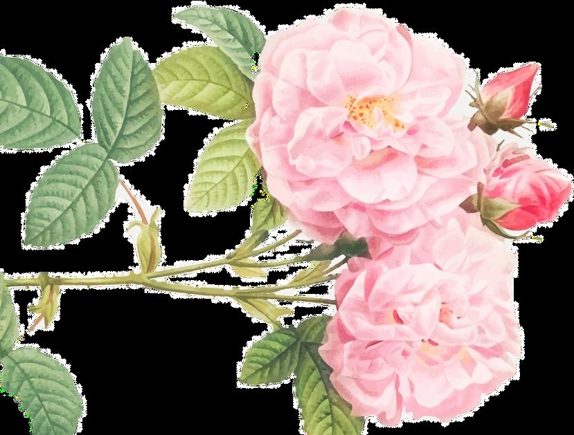 Rose x Damascena