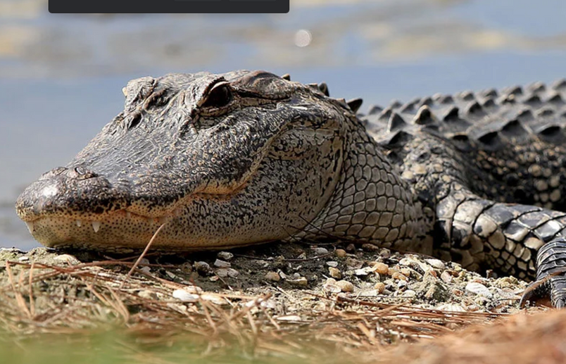 Ancient artifacts turn up in a Mississippi alligator's stomach.
