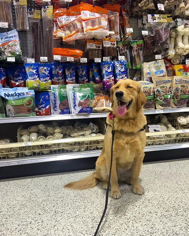 Stella the 8 month old #goldenretriever