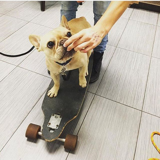 Yoda the Frenchie learning how to _roll_