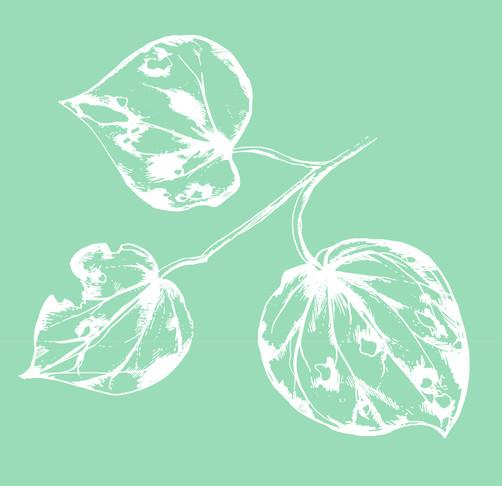 Kawakawa leaves, the basis of Frankie's ingredients