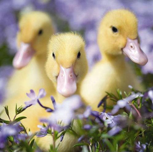 Three Little ducklings amongst flowers RSPCA Card