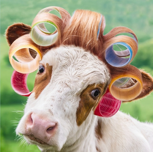 Cow In Curlers Blank Card