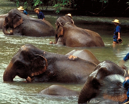 Bañarse con elefantes en Chiang Mai