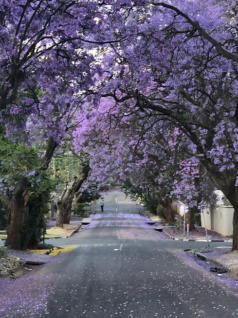 Jacarandas, Johannesburg