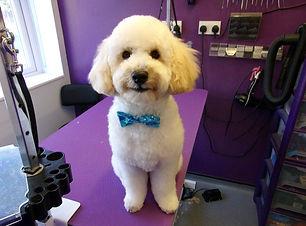 13.09.19 Bobby Miniature Poodle.JPG